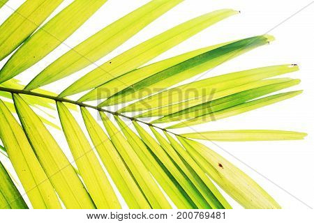 Palm Leave Isolated On White