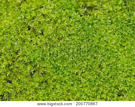 Bright fresh green moss with water drop. Green abandon moss background in nature.