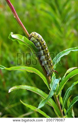 The caterpillar of a large moth - hyles podmarenkova (Hyles gallii) from the family of hawk moths (Sphingidae) in the natural environment. Siberia Novosibirsk oblast Russia