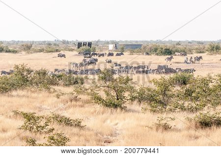 Burchells zebras and blue wildebeest as seen from the hide at Olifantsrus