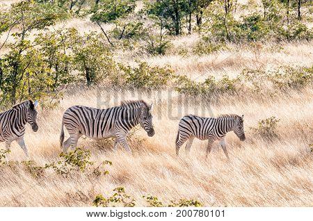 Burchells zebras Equus quagga burchellii walking in a grass and mopani shrub landscape in Northern Namibia