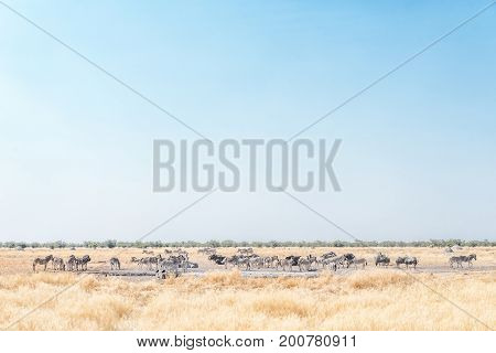 Herds of Burchells zebras and blue wildebeest at a waterhole in Northern Namibia