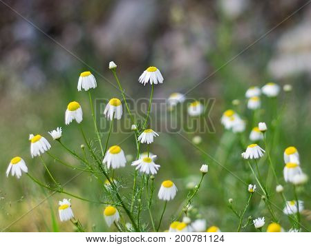 Close-up of Chamomile pharmaceutical Matricaria chamomilla L a medicinal herbal in the forest on a summer morning