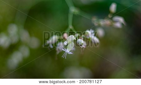 Macro image of beautiful flowers of Bladder Campion Silene vulgaris in the forest on a summer morning