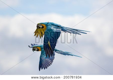 Pair of blue and yellow or gold macaws (Ara ararauna) in flight. Wild parrots flying. Tropical South American wildlife.