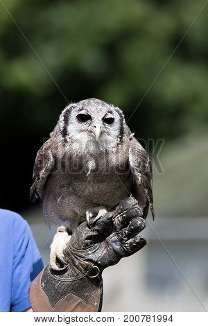 Milky eagle owl (Bubo lacteus) bird of prey standing on falconers glove