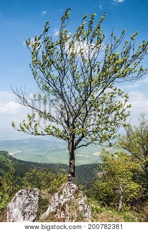 isolated tree on partly rocky hill summit of Ostre hill above Svosov village in Velka Fatra mountains in Slovakia during spring day with blue sky