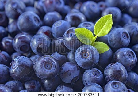 Heap of bilberries. Close up photo of blueberries. Fresh ripe juicy berries autumn background. Concept for healthy diet. Soft focus. Photo for eco cookery business. Antioxidant natural harvest