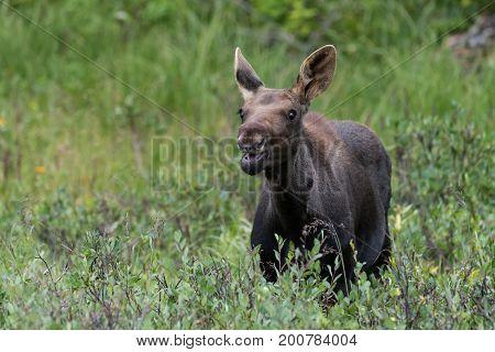 Wild Shiras Moose Calf in the Rocky Mountains of Colorado