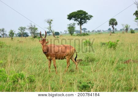 Antelope Lelwel Hartebeest (Alcelaphus buselaphus lelwel) also known as Jackson's hartebeest in the Murchison Falls national park Uganda Africa