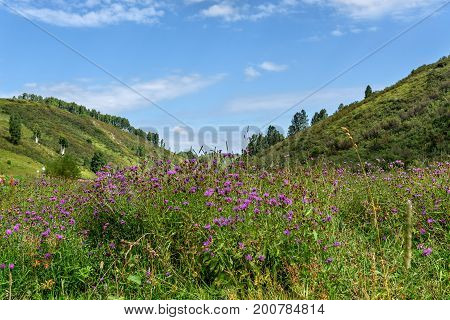 Beautiful floral background with bright pink wild flowers cornflowers on a meadow against the backdrop of grass mountains blue sky and clouds