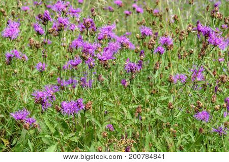 Beautiful floral background with pink wild flowers cornflowers in the grass in a meadow closeup