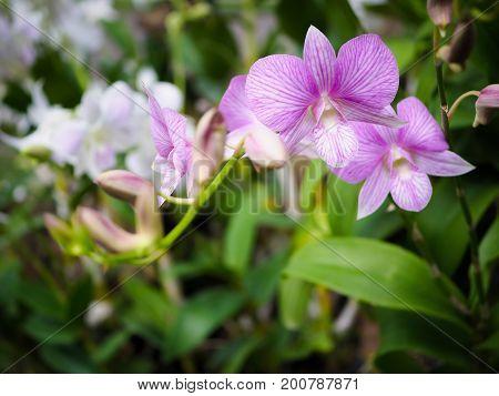 Light purple orchid flower in garden found in Thailand.