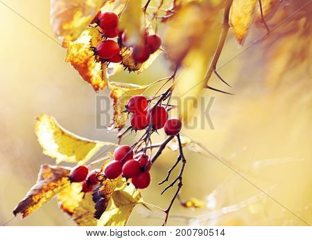 Hawthorn branch with yellow leaves and red fruits in the fall.