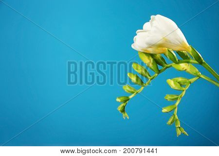 Branch of beautiful freesia flowers on blue background