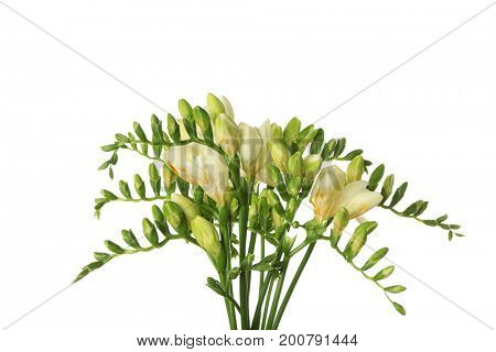 Bouquet of beautiful freesia flowers on white background