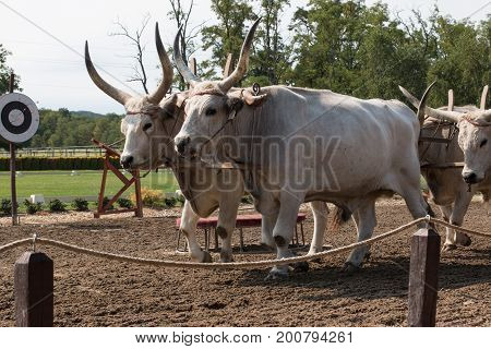 Hungarian steppe cattle in Lazar Lovaspark, Hungary