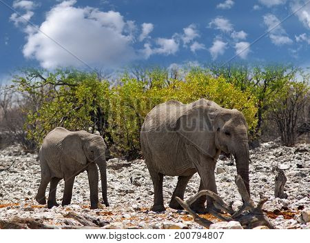 Two Elephants standing on the rocky terrain of Etosha National Park with a natural bushveld background and a blue cloudy sky