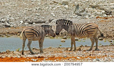 Two Burchells Zebra standing infront of a waterhole with their heads close together Etosha National Park Namibia Africa