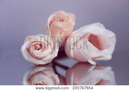 Festive composition of tender flowers of a tea rose.