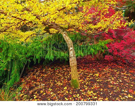 Autumn colored bright leaves on the trees during fall season