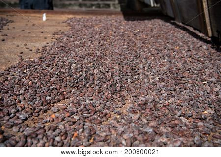Cocoa raw beans drying on rusty iron board on farm on blurred background. Organic cacao seeds. Chocolate and healthy diet