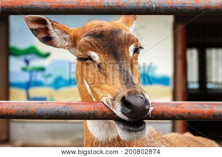 Roe deer in zoo. Animal in captivity