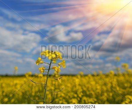 Canola field yellow rape flowers rapeseed close up