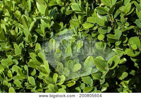 Spiderweb with dew water droplets on green plant leaves closeup