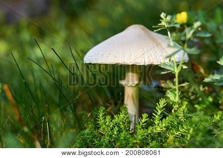 A wild mushroom grows in the forest amid moss and grass with flowers. A fabulous house for insects. Natural antiseptic.