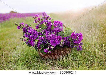 basket with beautiful purple wild mallow in front of flowerfield