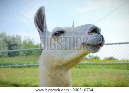 livestock white alpaca lama face agriculture farm closeup
