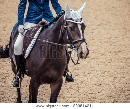 Dressage horse and rider. Brown horse portrait during dressage competition. Advanced dressage test. Copy space for your text.