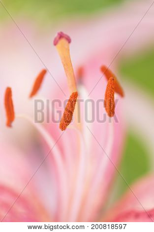Pistil and stamens of a lily close-up. Pink lily close-up. Selective focus