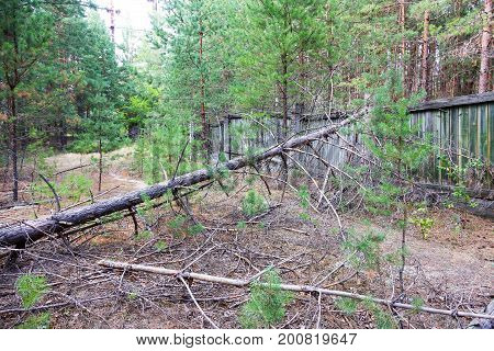 Deforestation. Uprooting Of Roots Of Trees. Fallen Pine In The Coniferous Forest In Summer Sunny Day