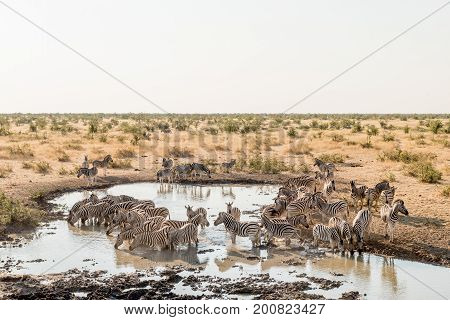 A herd of Burchells zebras Equus quagga burchellii drinking water as seen from the hide at a waterhole in Northern Namibia