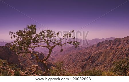 a solitary tree looking after a valley in Taif Mountains area in saudi arabia