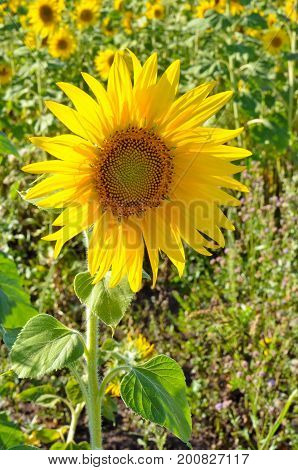 young flower sunflower in field of sunflowers