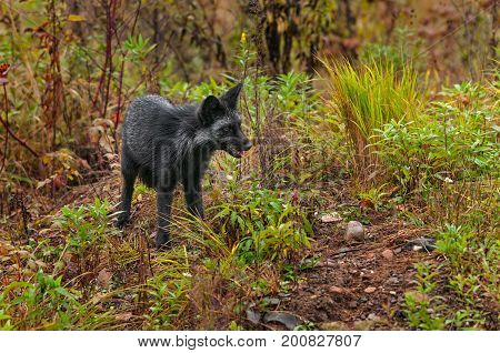 Silver Fox (Vulpes vulpes) Stands to Right - captive animal