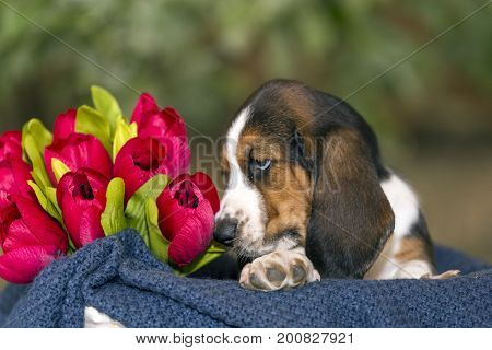Sweet Basset Hound Puppy With Sad Eyes Sitting In A Basket On The Blanket