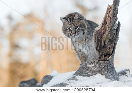 Bobcat (Lynx rufus) Looks Down From Snowy Log - captive animal
