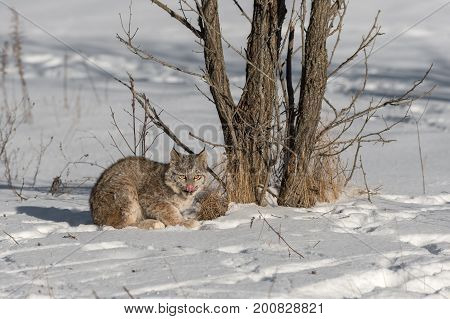 Canadian Lynx (Lynx canadensis) Licks Nose - captive animal