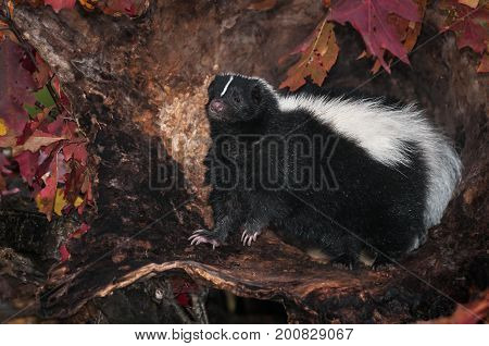 Striped Skunk (Mephitis mephitis) Sits Up in Log - captive animal