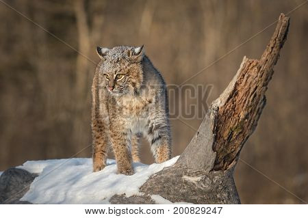 Bobcat (Lynx rufus) Turns on Log Ears Back - captive animal