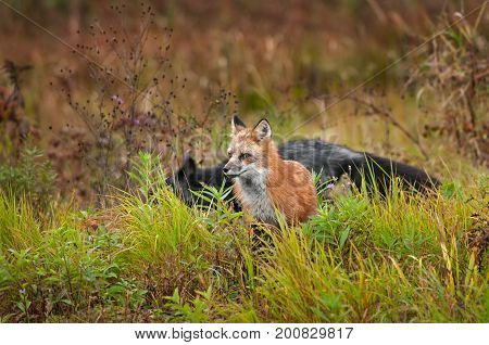 Red Fox (Vulpes vulpes) with Silver Fox Crossing Behind - captive animals