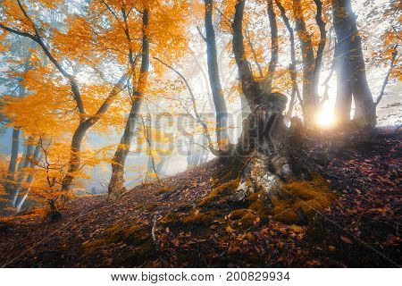 Magical Old Tree With Sun Rays In The Morning. Amazing Forest In
