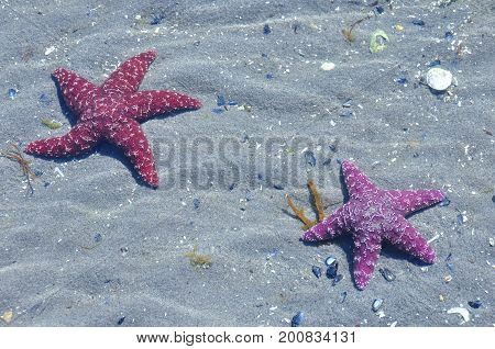 A pair of purple seastars lay on the beach catching some rays.