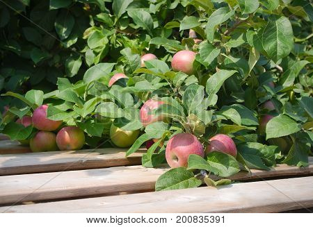 red apple in tree paulared fresh organic fruit summer orchard wood pallet