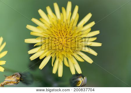 Flower of a prickly sow thistle (Sonchus asper)