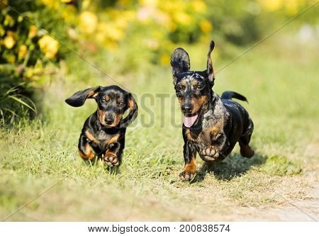 Dachshunds are playing on the grass